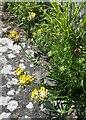 SE1785 : Kidney Vetch (Anthyllis vulneraria) at Jervaulx Abbey by Rich Tea