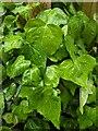 TF0820 : Fresh leaves by Bob Harvey