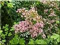 TF0820 : The pinkest of Hawthorn by Bob Harvey