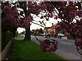 SP3384 : Wheelwright Lane, Ash Green, with cherry tree in bloom by Alan Paxton