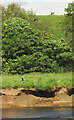 SX8574 : Swallow and cows, River Teign by Derek Harper