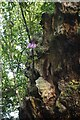 SK5967 : Dead oak with rhododendron by David Lally