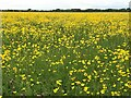 TL2470 : Port Holme flood meadow near Godmanchester covered in buttercups by Richard Humphrey