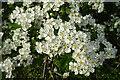 NJ3559 : Hawthorn Blossom by Anne Burgess