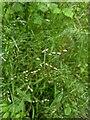 TF0820 : Grass seeds by Bob Harvey