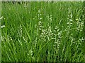 TF0820 : Grass flowers in the margins by Bob Harvey