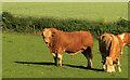 SX8863 : Bull, Stantor by Derek Harper