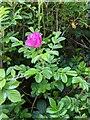 TF0820 : Rosa rugosa by Bob Harvey
