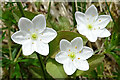 NJ3630 : Chickweed Wintergreen (Trientalis europaea) by Anne Burgess