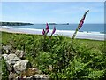 SS4189 : Foxgloves and Rhossili Bay by Philip Halling