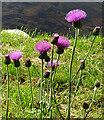 NJ2442 : Melancholy Thistle (Cirsium heterophyllum) by Anne Burgess