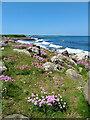 NU2522 : Sea pinks near Greymare Rock by Mick Garratt