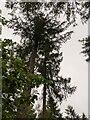 TF0820 : Tree tops by Bob Harvey