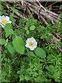 TF0820 : Rosa arvensis  by Bob Harvey
