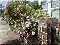 TQ2375 : Roses in a front garden by Marathon
