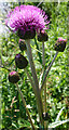NJ2642 : Melancholy Thistle (Cirsium heterophyllum) by Anne Burgess