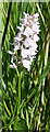 NJ2343 : Heath Spotted Orchid (Dactylorhiza maculata) by Anne Burgess