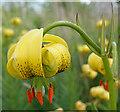 NJ2544 : Pyrenean Lily (Lilium pyrenaicum) by Anne Burgess