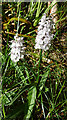 NJ4549 : Heath Spotted Orchid (Dactylorhiza maculata) by Anne Burgess