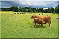 SK4564 : Cattle in Hardwick Hall Park by Bill Boaden