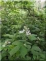 TF0820 : Bramble flowers by Bob Harvey