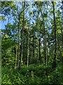 TF0820 : Tall trees by Bob Harvey