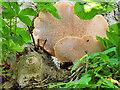 SE0188 : Bracket Fungus at Aysgarth by David Dixon
