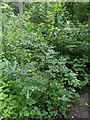 TF0820 : Small Oak by Bob Harvey