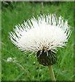 NJ3462 : Melancholy Thistle (Cirsium heterophyllum) by Anne Burgess