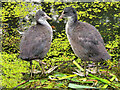 SD7807 : Young Coots on the Nest by David Dixon