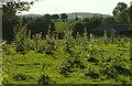 SO7447 : Thistles near Hill House Farm by Derek Harper
