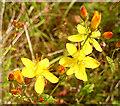 NJ2953 : Slender St John's Wort (Hypericum pulchrum) by Anne Burgess