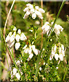 NJ2752 : White Bell Heather (Erica cinerea) by Anne Burgess