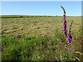 SN3950 : Foxglove and a hay field by Philip Halling