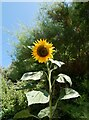 TR2135 : Giant sunflower, Folkestone by pam fray