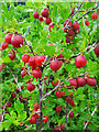SO5922 : Red Gooseberries, Hinnonmaki Red by Jonathan Billinger