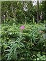 TF0820 : Rose Bay Willowherb by Bob Harvey