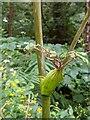 TF0820 : Hooded stems by Bob Harvey