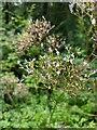 TF0820 : Valeriana officinalis by Bob Harvey