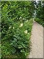 TF0820 : Meadowsweet by the path by Bob Harvey