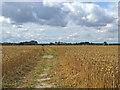 TL5357 : Through wheat to Fulbourn by John Sutton