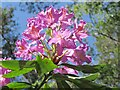 TQ1343 : Leith Hill - Rhododendron by Colin Smith