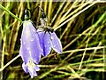 C6638 : Fly on Harebell by Kenneth  Allen