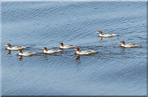 NJ9505 : Goosanders on the River Dee by Mat Fascione