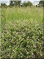 SP3065 : Cranesbill by Portobello Way, Warwick by Robin Stott