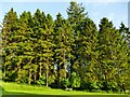 SD9771 : Tall pines at Scargill by Stephen Craven
