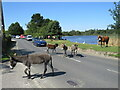 SU3802 : Ponies in the road, Beaulieu by Malc McDonald