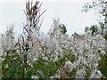 NT2469 : Rosebay Willowherb in Braidburn Valley Park by M J Richardson