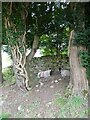 NY3139 : Two old Yews and two not-so-old Ewes by Oliver Dixon