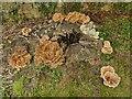 SE0045 : Bracket fungus on a tree stump by Stephen Craven